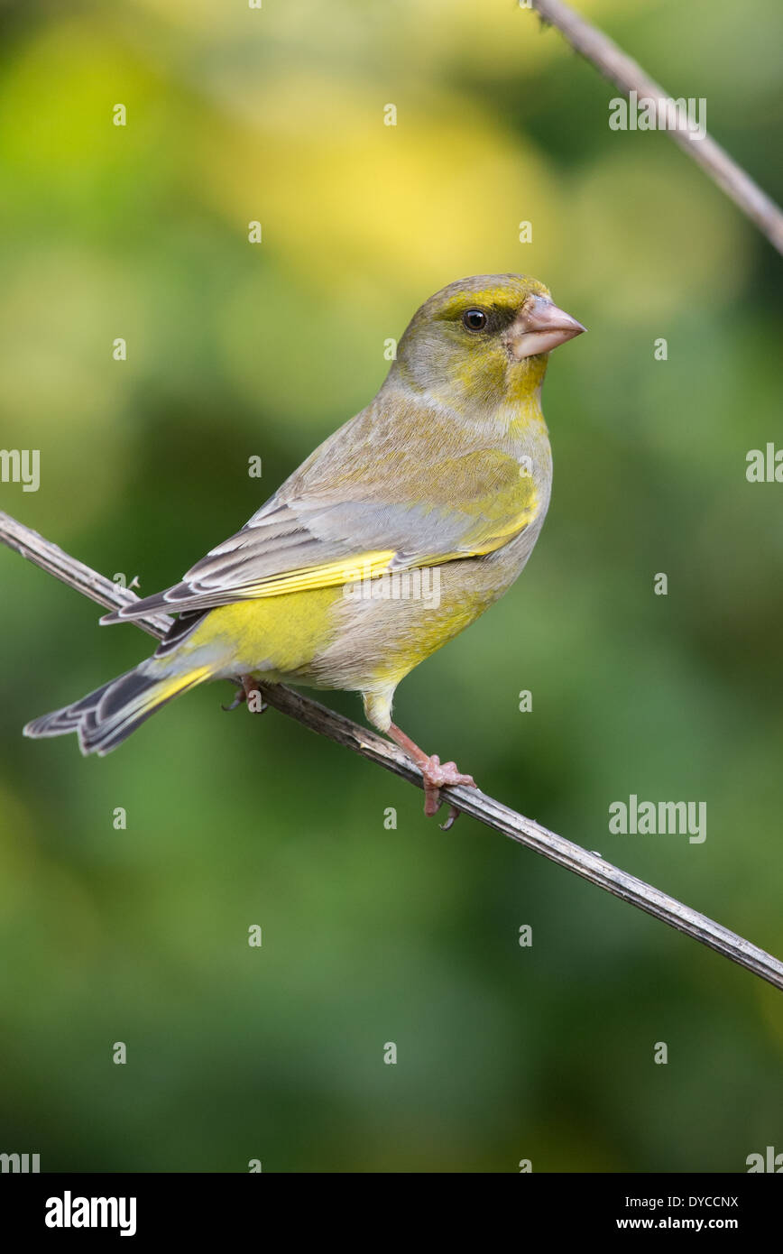 Adult male European Greenfinch (Chloris chloris) perched on a twig - Stock Image
