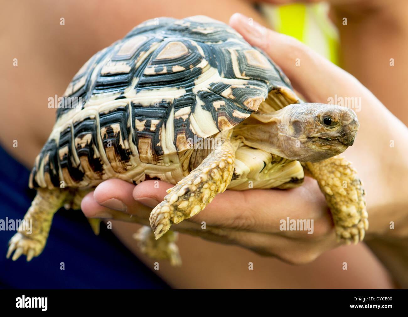 Beautiful turtle (Geochelone pardalis) in a woman's hand. - Stock Image