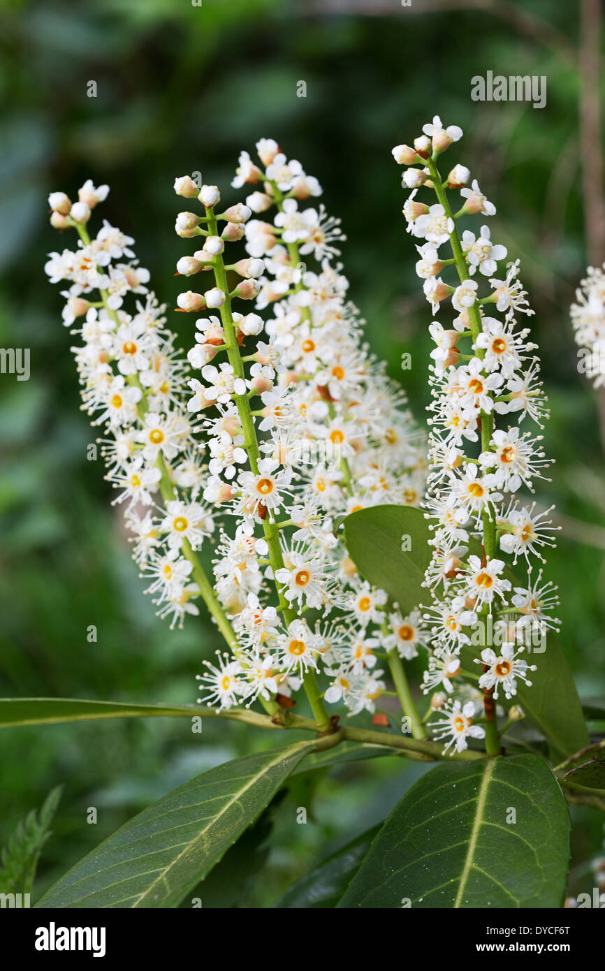 Common Cherrylaurel; flowering (Prunus laurocerasus) - Stock Image