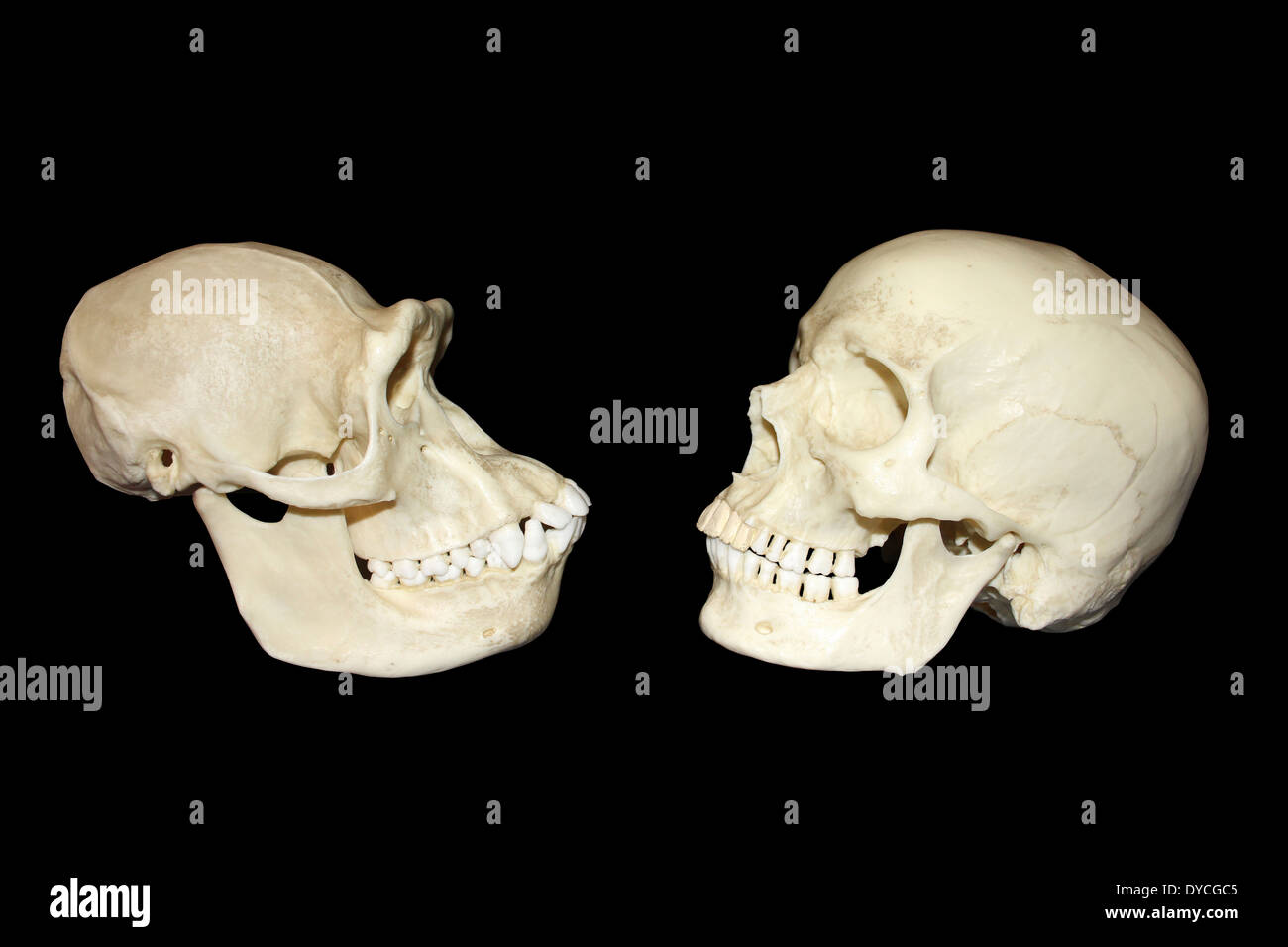 Comparison Between Skull Of Female Chimpanzee And Modern Human Homo sapiens - Stock Image