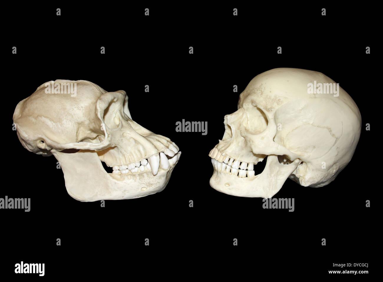 Comparison Between Skull Of Male Chimpanzee And Modern Human Homo sapiens - Stock Image
