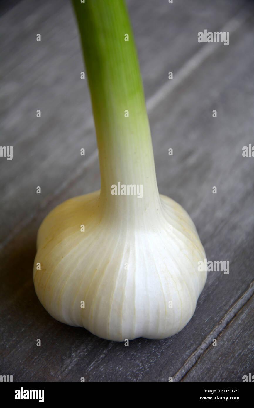 a fresh white green garlc bulb on a grey wooden table macro close-up eine frische weisse Knoblauchknolle auf grauem Holztisch Stock Photo