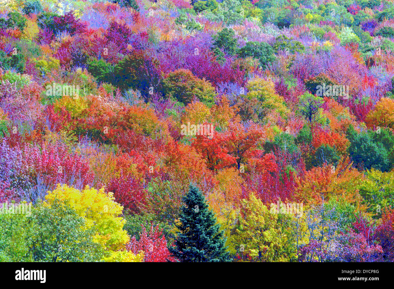 The multicolored leaves of trees during autumn in New England, USA, have been digitally altered to create a vibrant painting of Fall Foliage. - Stock Image