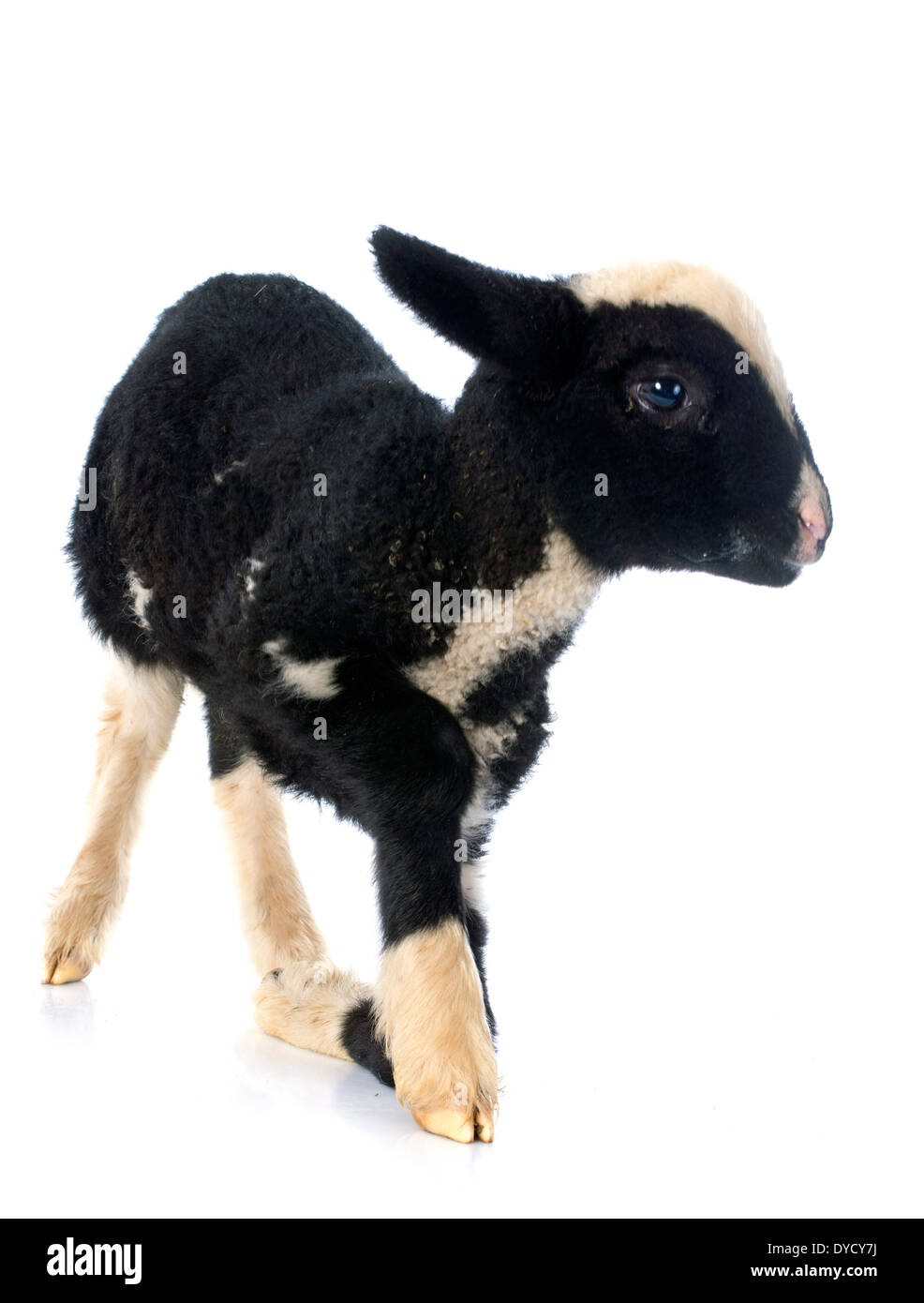 young lamb in front of white background Stock Photo