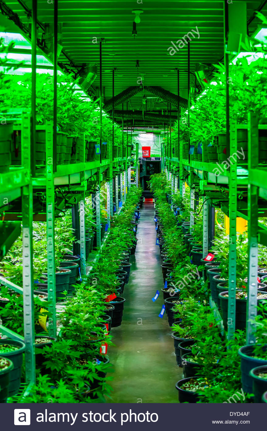 The Green Mile, Grow room with marijuana plants in vegetative stage
