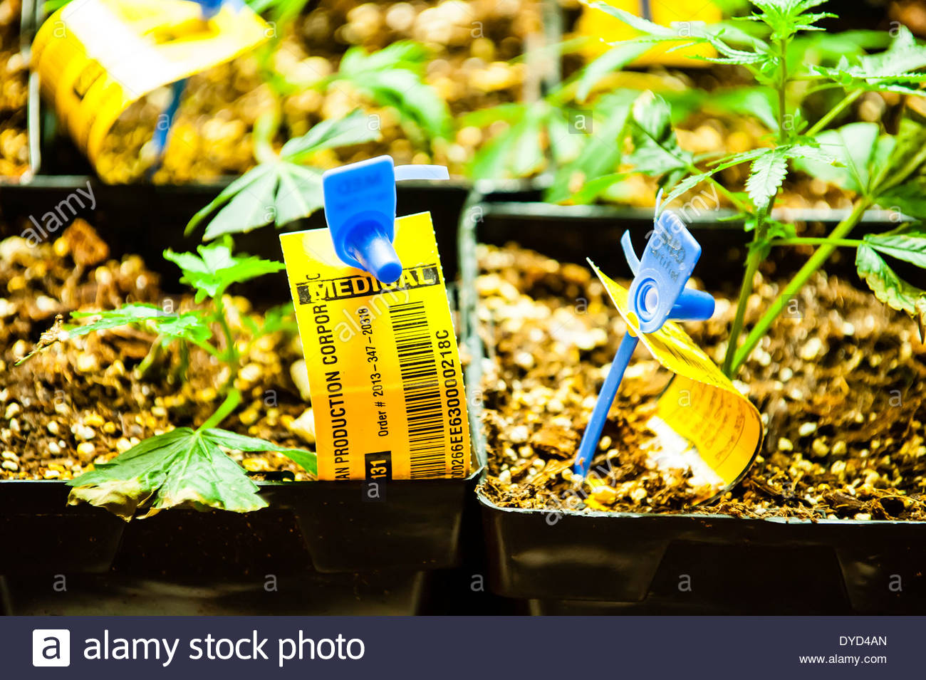 Radio frequency ID tags on pot plants, Medicine Man Denver pot dispensary, Denver, Colorado USA. - Stock Image