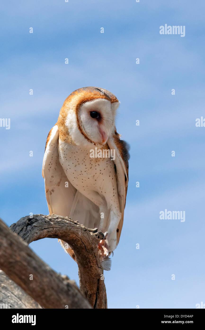 Barn Owl (Tyto alba) - Stock Image