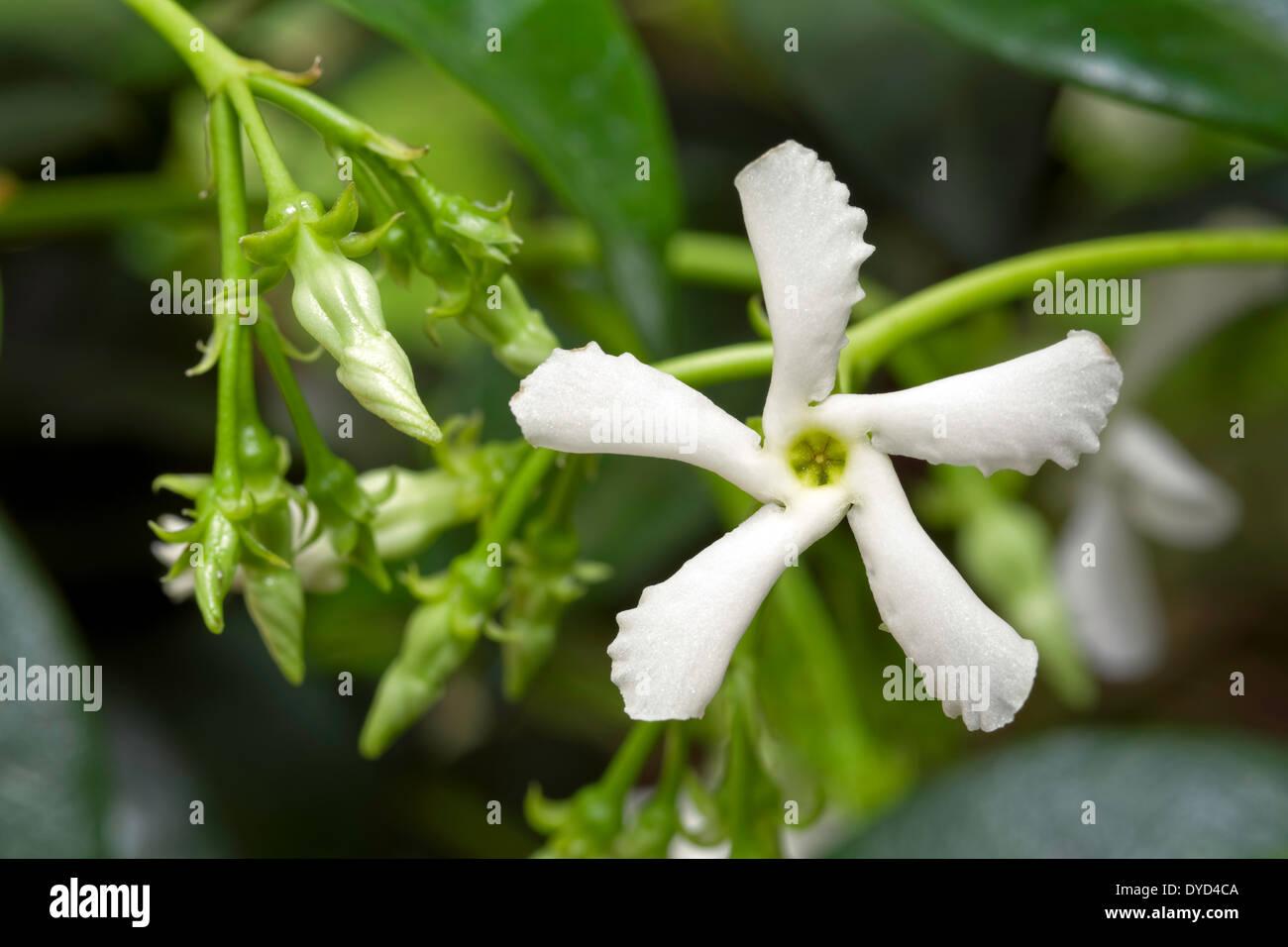 Jasmine Flower Flowers Plant Stock Photos Jasmine Flower Flowers