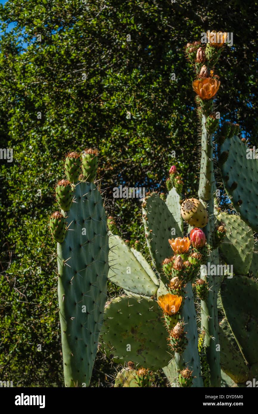 Orange flowering prickly pear cactus against dark shrubbery. - Stock Image