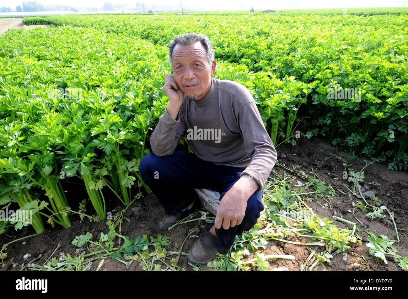 Zhongmou, China's Henan Province. 14th Apr, 2014. Farmer Du Jinxing sits in the field as he worries about the sale of celeries in Xingzhuang Village of Zhongmou County, central China's Henan Province, April 14, 2014. The harvest of celeries in the country failed to bring a handsome income to local farmers who lack sale experience and have to sell celeries at an extremely low price. © Zhu Xiang/Xinhua/Alamy Live News - Stock Image