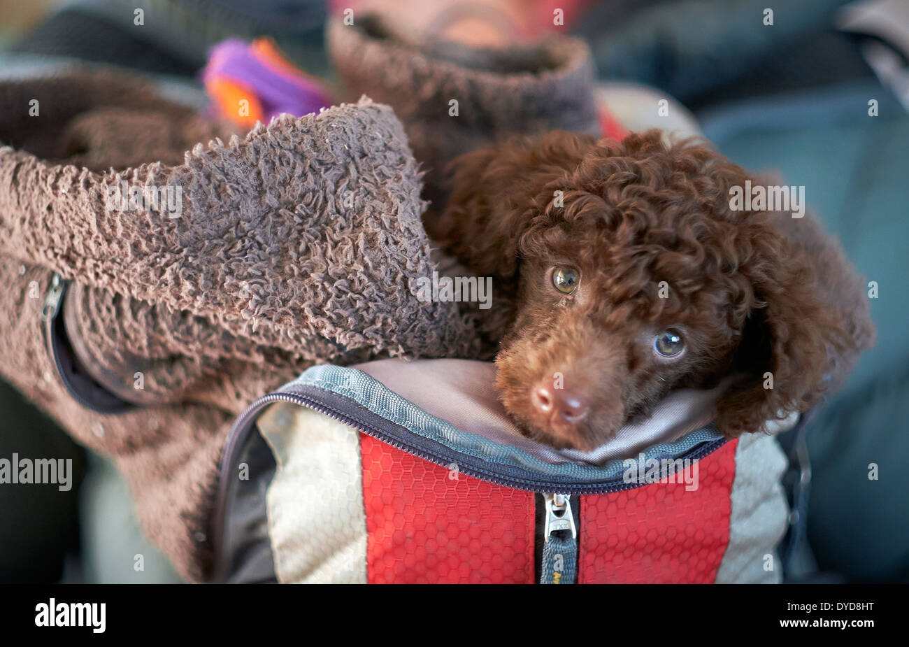 A miniature poodle wrapped up in a backpack for his first trip outdoors. - Stock Image