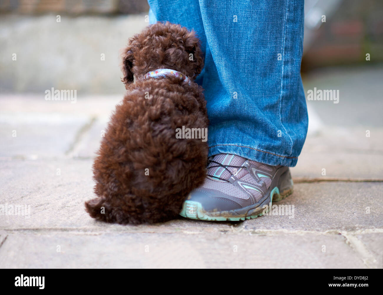 A shy miniature poodle sitting by it's owners leg outside. - Stock Image