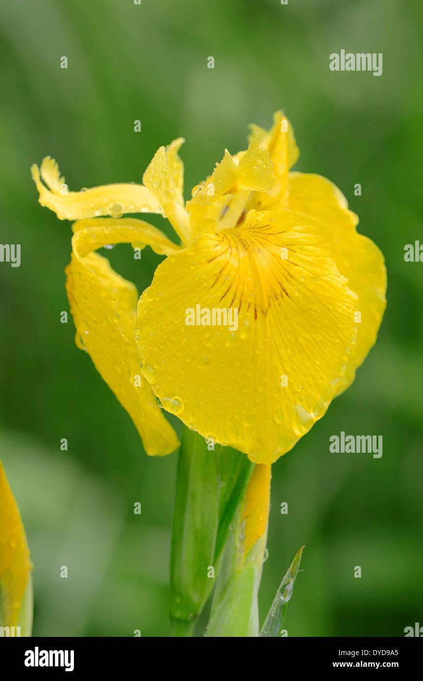 Yellow Flag or Yellow Iris (Iris pseudacorus), flower, North Rhine-Westphalia, Germany Stock Photo