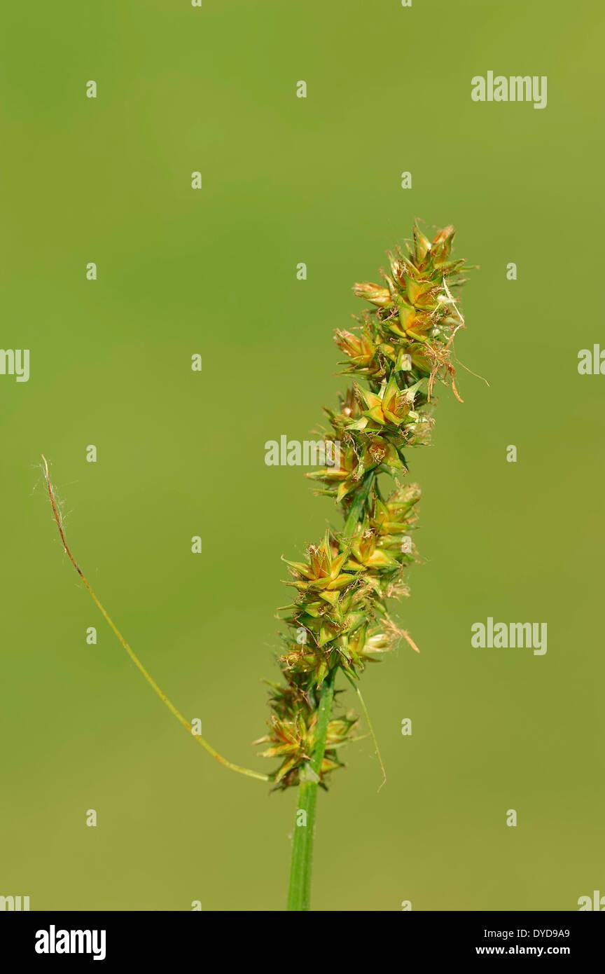 False Fox-sedge (Carex otrubae), North Rhine-Westphalia, Germany - Stock Image