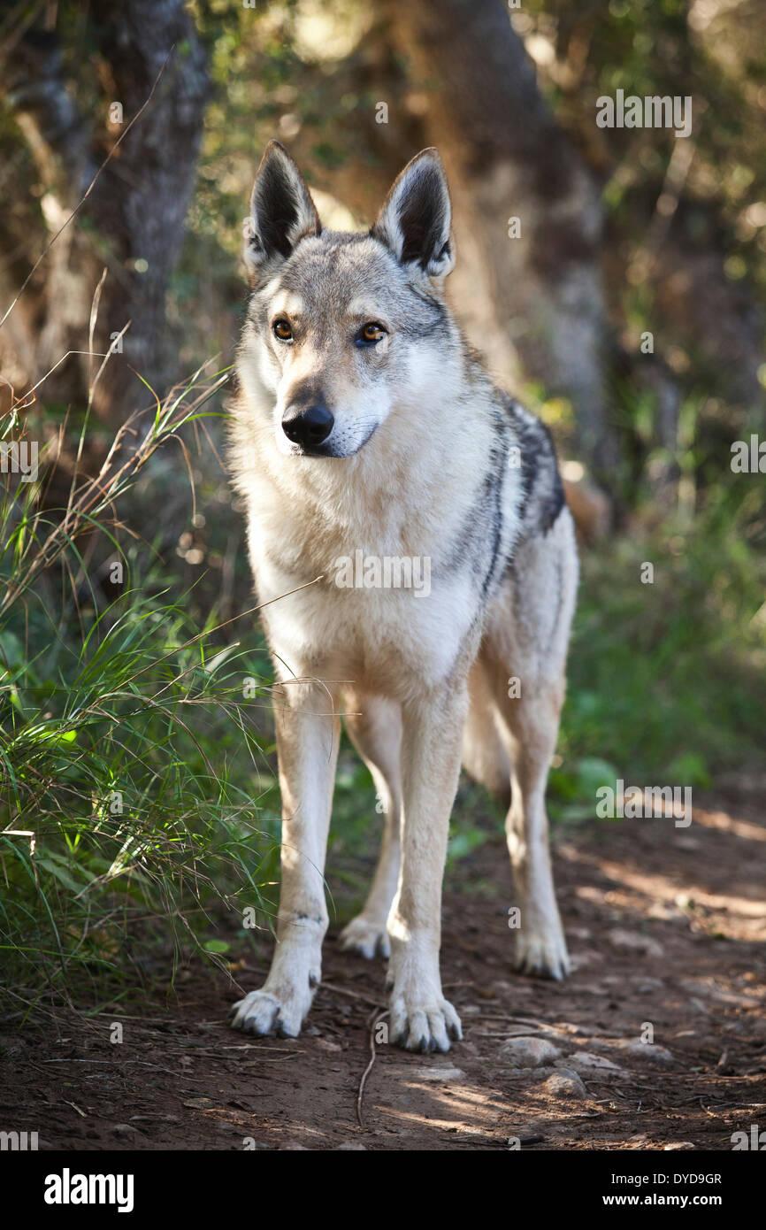 Czechoslovakian Wolfdog, 3.5 years, male, standing, Majorca, Balearic Islands, Spain - Stock Image