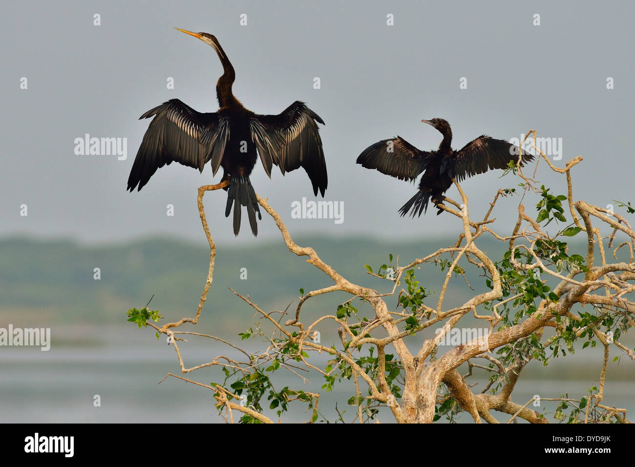 Oriental Darter or Indian Darter (Anhinga melanogaster) and a Little Cormorant (Phalacrocorax niger), Bundala National Park - Stock Image