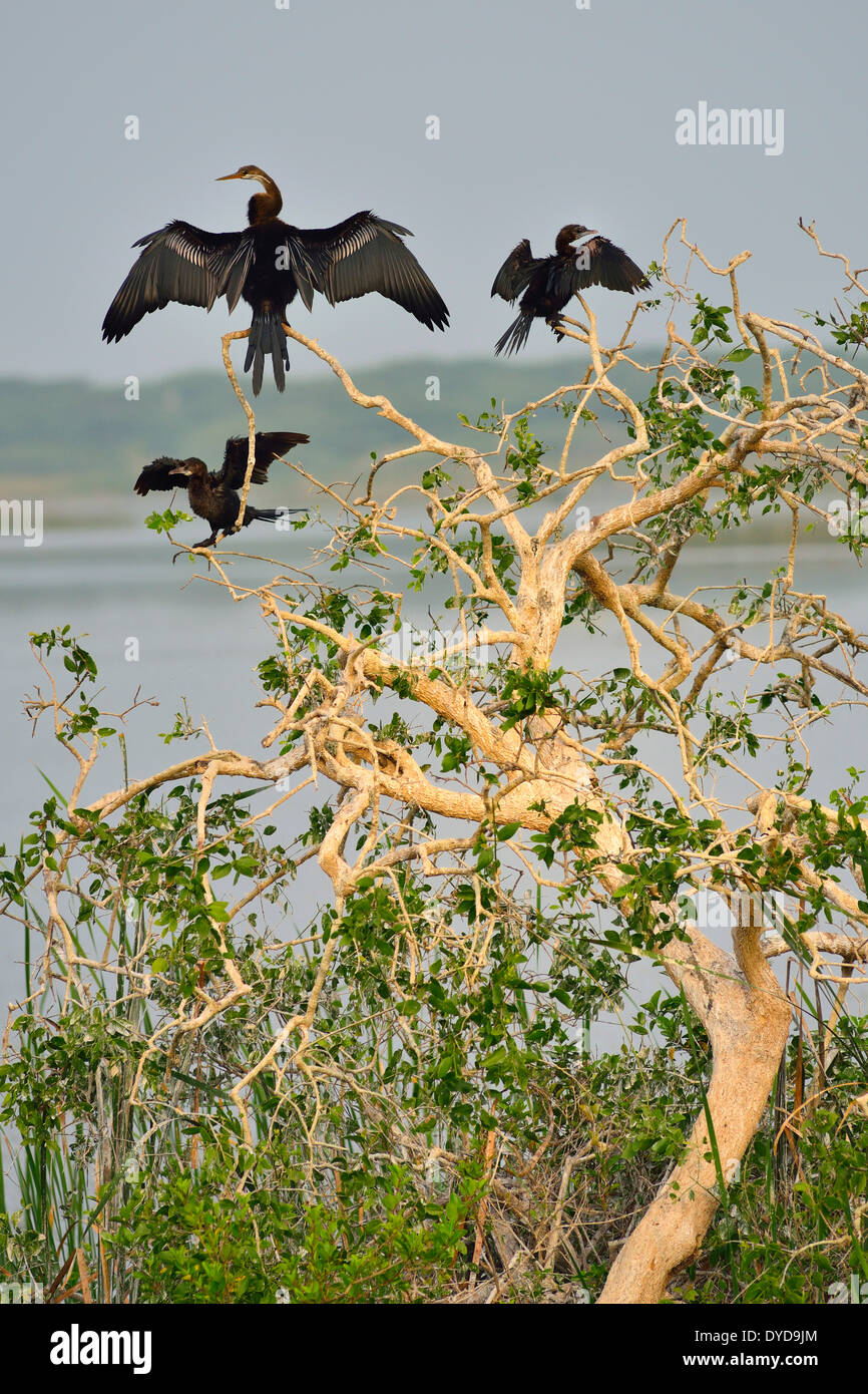 Oriental Darter or Indian Darter (Anhinga melanogaster) and Little Cormorants (Phalacrocorax niger), Bundala National Park - Stock Image