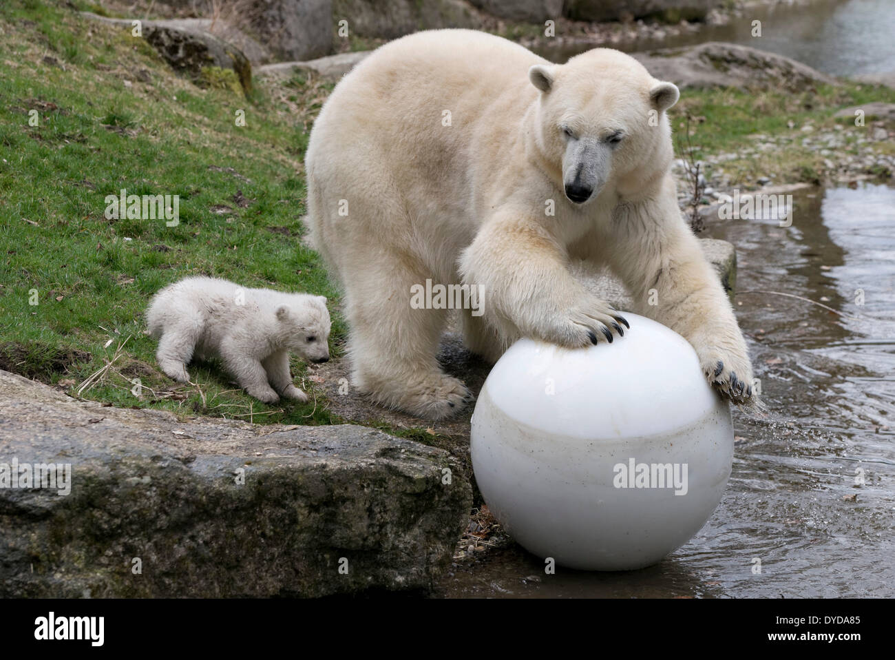 Polar Bears (Ursus maritimus), cub, Nobby, 14 weeks, playing with its mother, Giovanna, Hellabrunn Zoo, Munich, Upper Bavaria - Stock Image