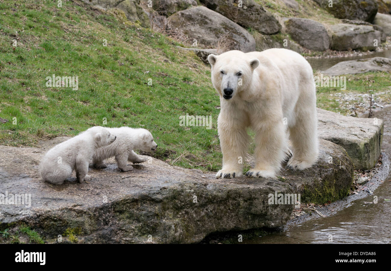 Polar Bears (Ursus maritimus), cubs, Nela and Nobby, 14 weeks, with their mother, Giovanna, Hellabrunn Zoo, Munich - Stock Image