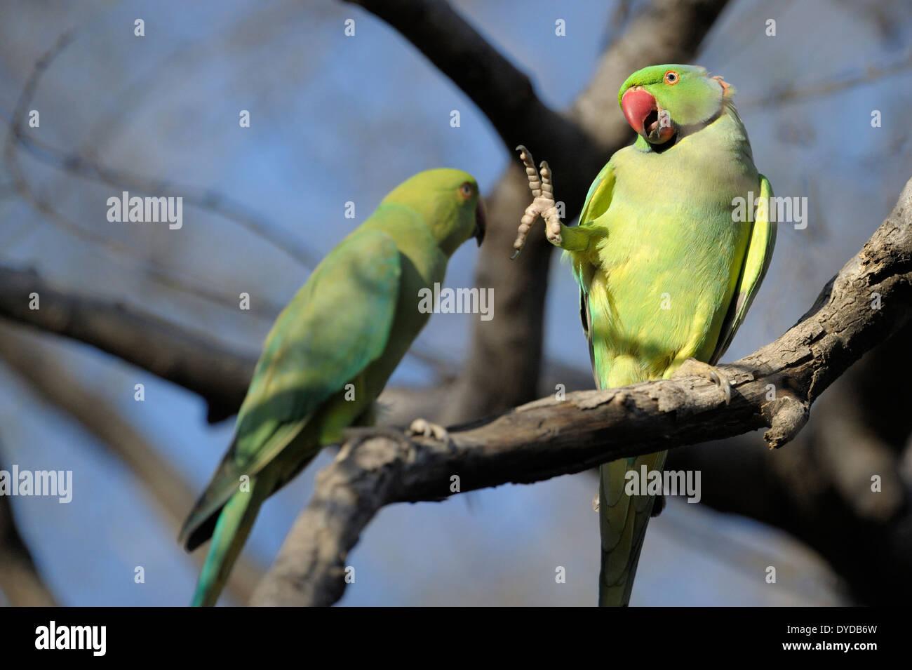 Rose-ringed parakeet (Psittacula eupatria) pair displaying. - Stock Image