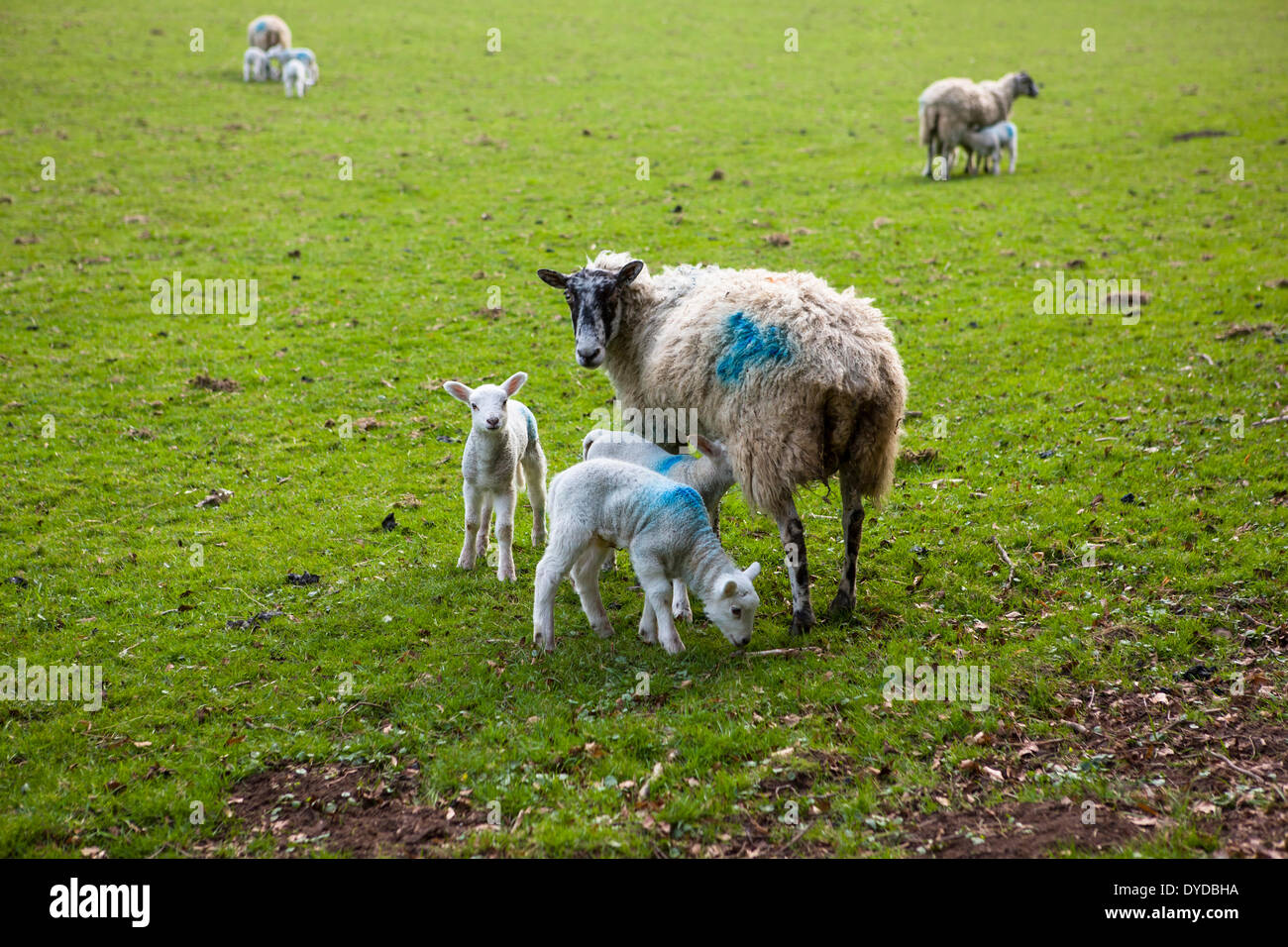 Ewe and lambs in Derbyshire field. - Stock Image
