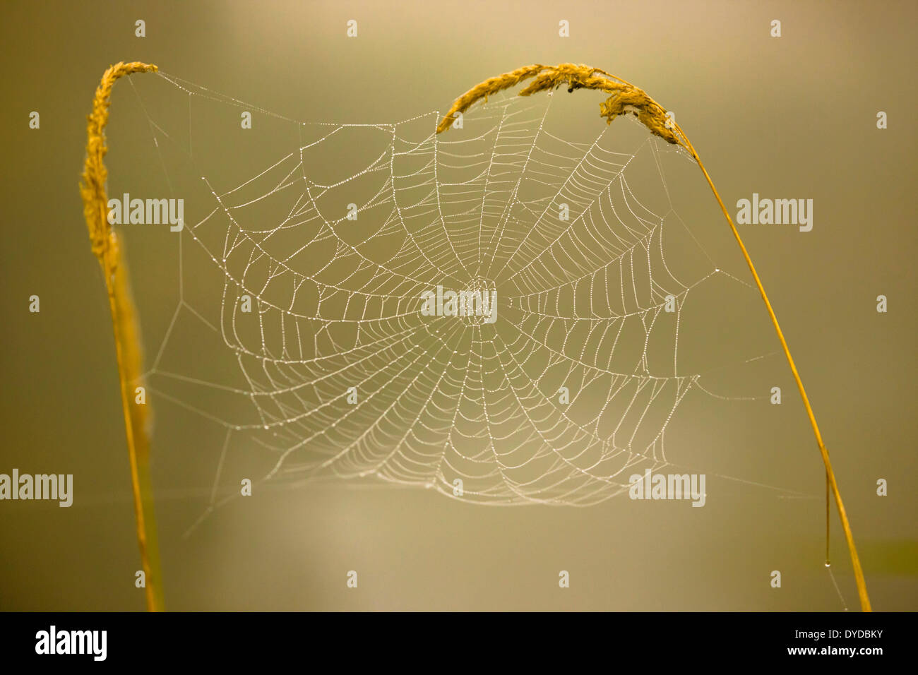 Cobweb between two ears of grass. - Stock Image
