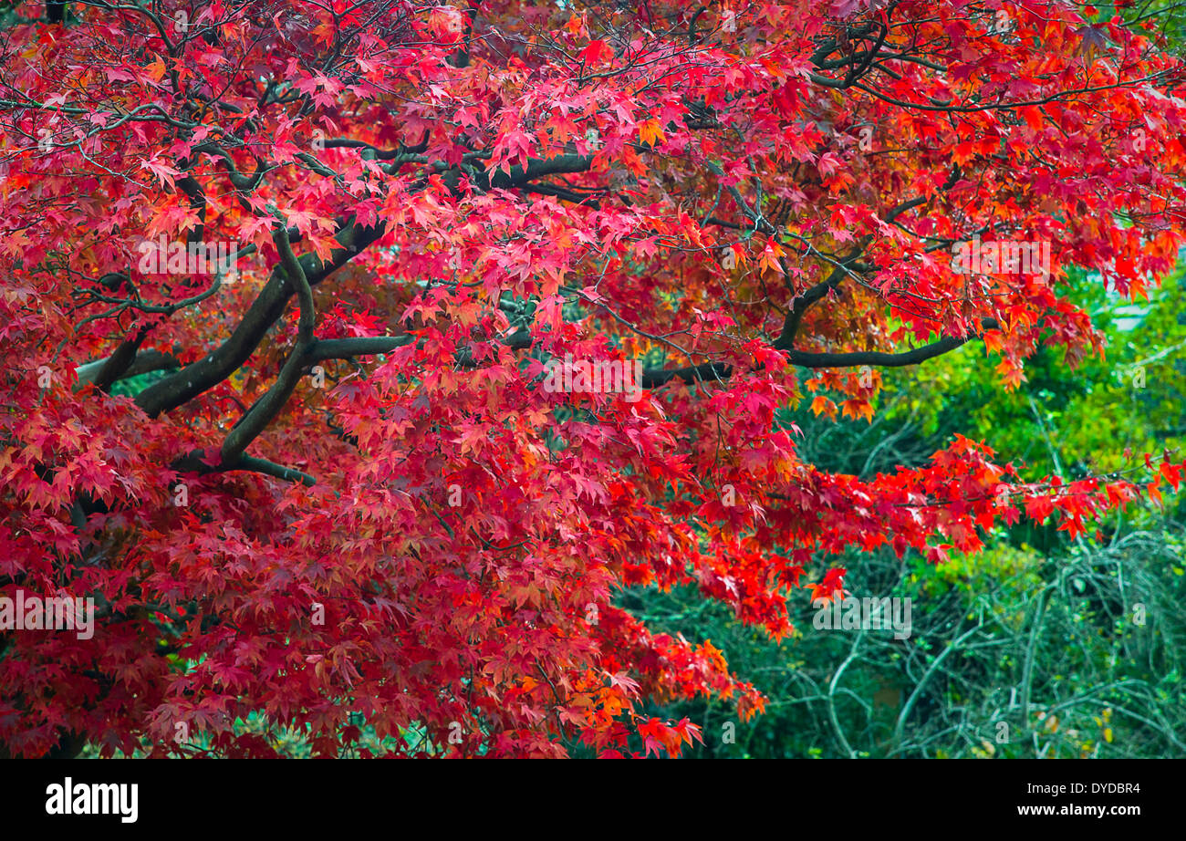 A vibrant red maple with a backdrop of green leaves. - Stock Image