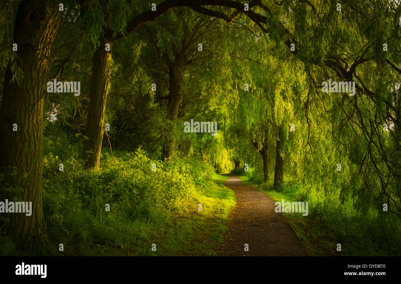 A path lined with weeping willows beside Staunton Harold reservoir near Melbourne in Leicestershire. - Stock Image