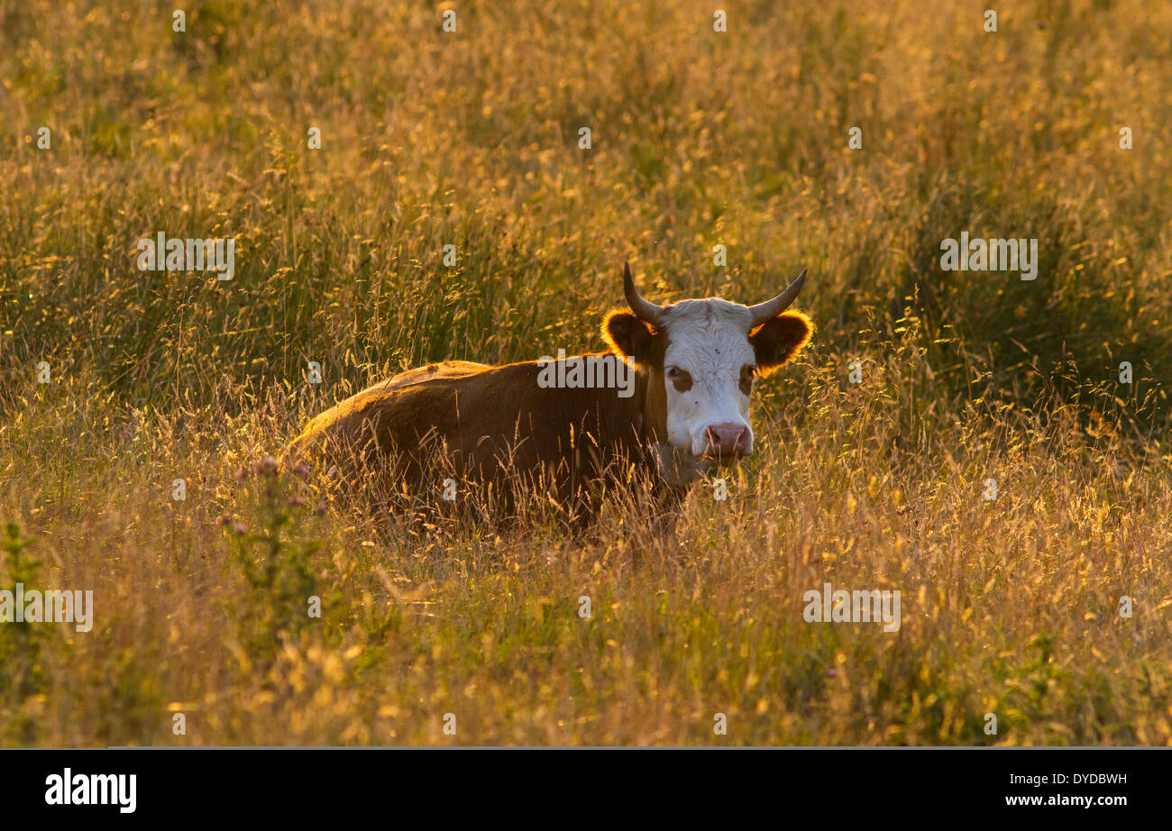 A horned calf lying on long grass on a summer evening. - Stock Image