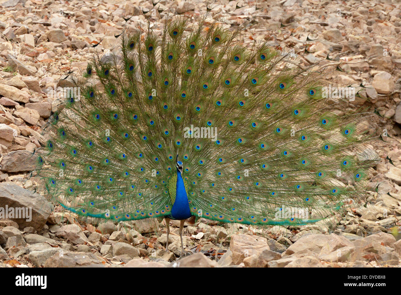 Indian peafowl (Pavo cristatus) displaying his feathers for courtship. Stock Photo