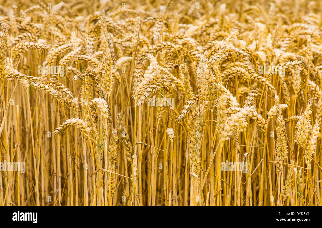 Field of wheat in South Yorkshire. - Stock Image
