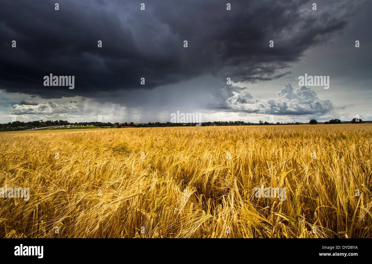 A field of barley with a summer strom approaching. - Stock Image