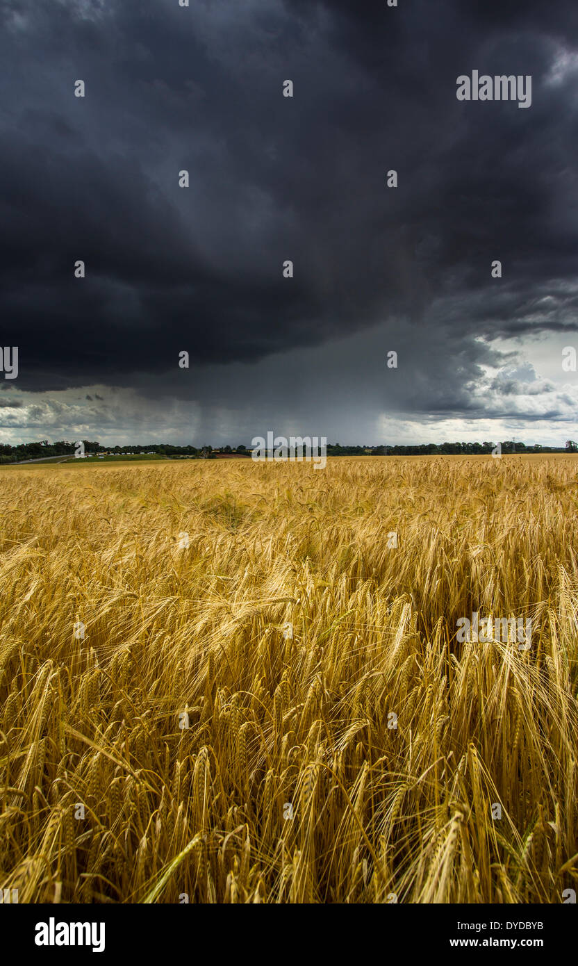 A field of barley with a summer storm approaching. - Stock Image