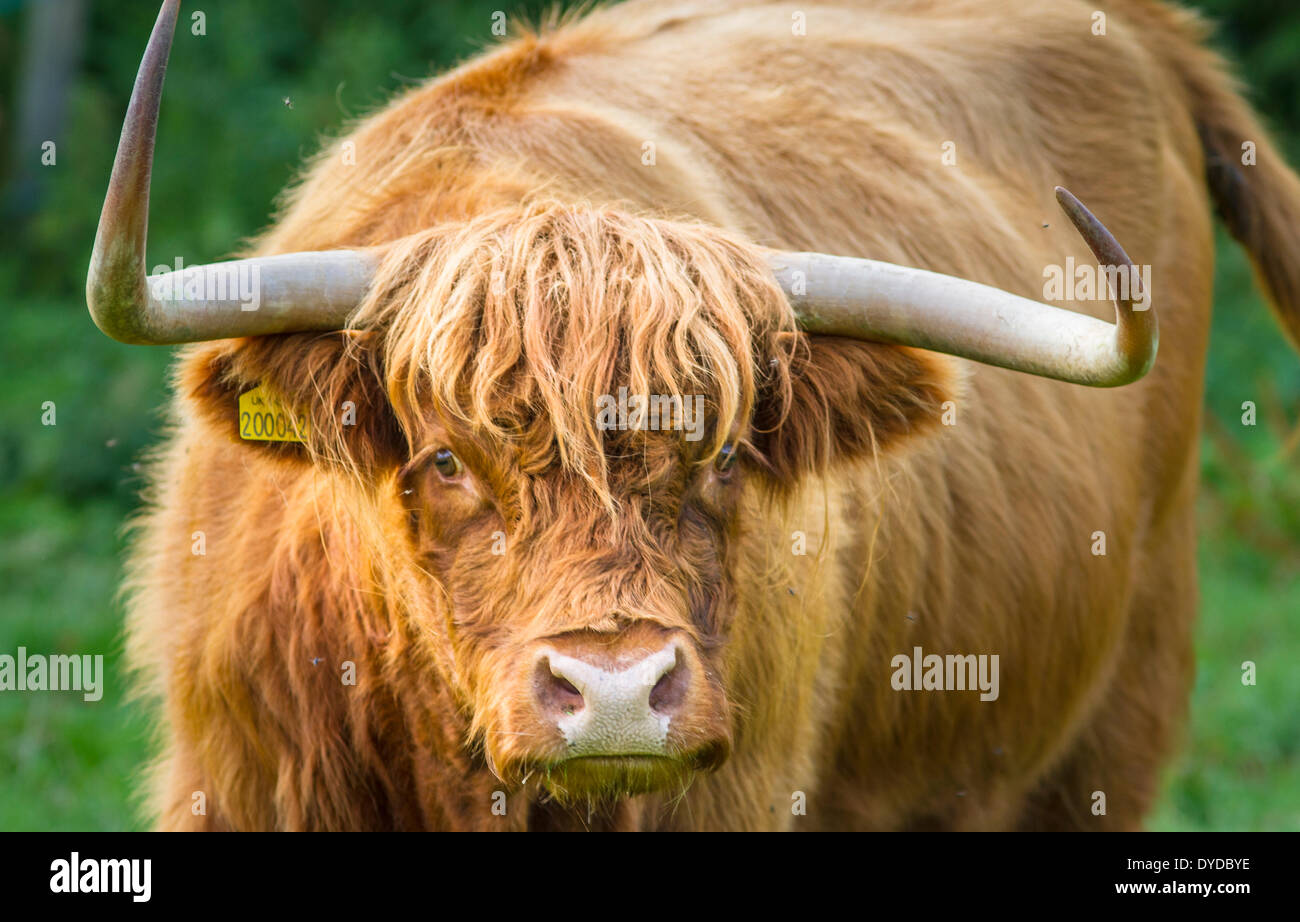 Highland Cattle with menacing horns. - Stock Image