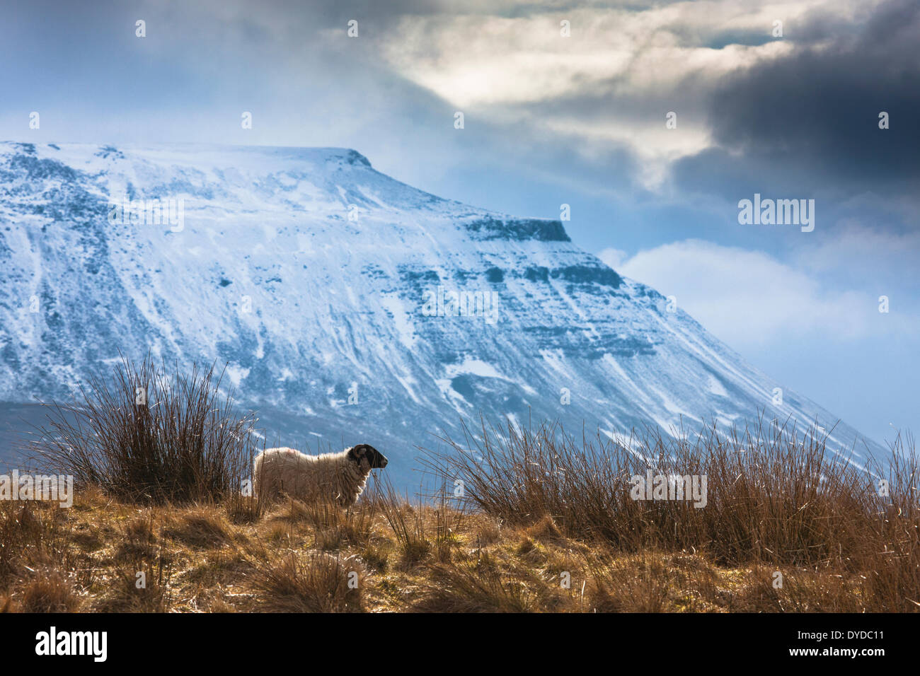 A black faced sheep in a field beneath a snow covered Ingleborough. - Stock Image