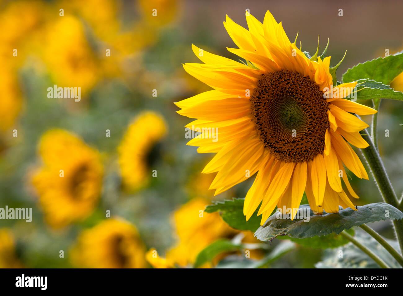 Sunflowers growing alongside a road to a farmhouse. - Stock Image
