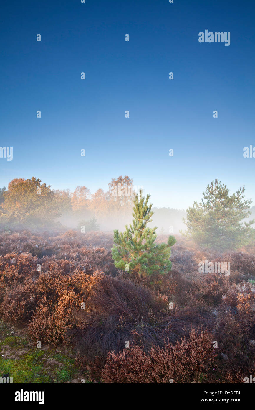 Thetford Forest on a misty autumn morning. - Stock Image