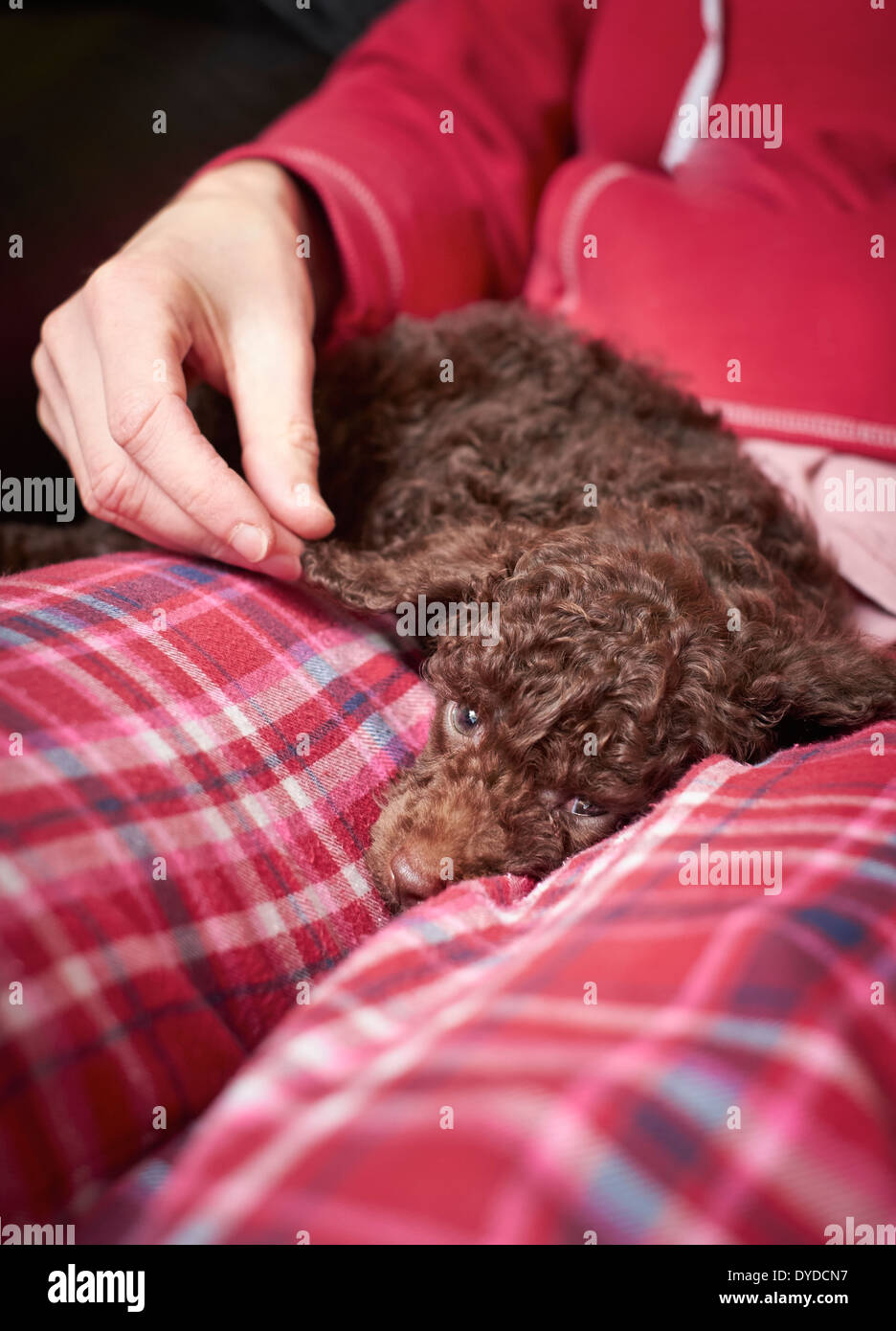 A miniature Poodle Puppy sleeping on a lap. - Stock Image