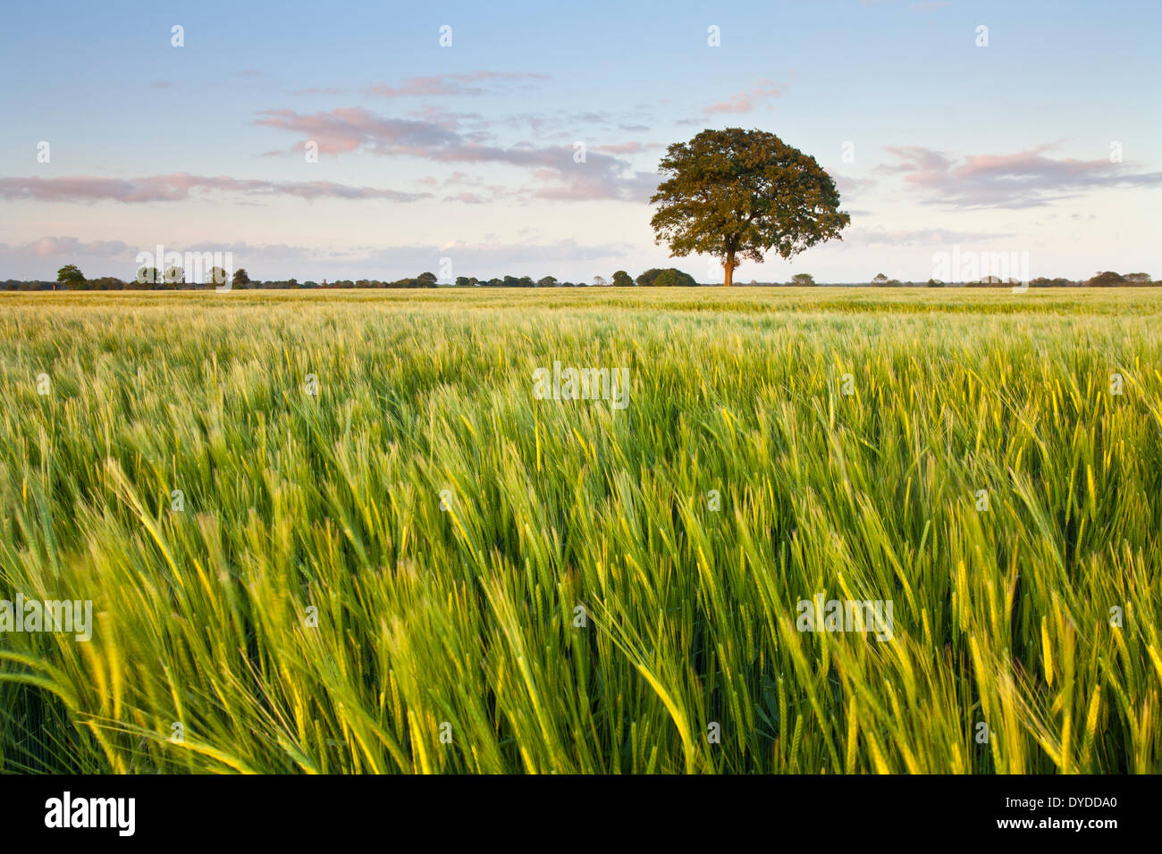 A barley field in the Norfolk countryside close to the village of Potter Heigham. - Stock Image