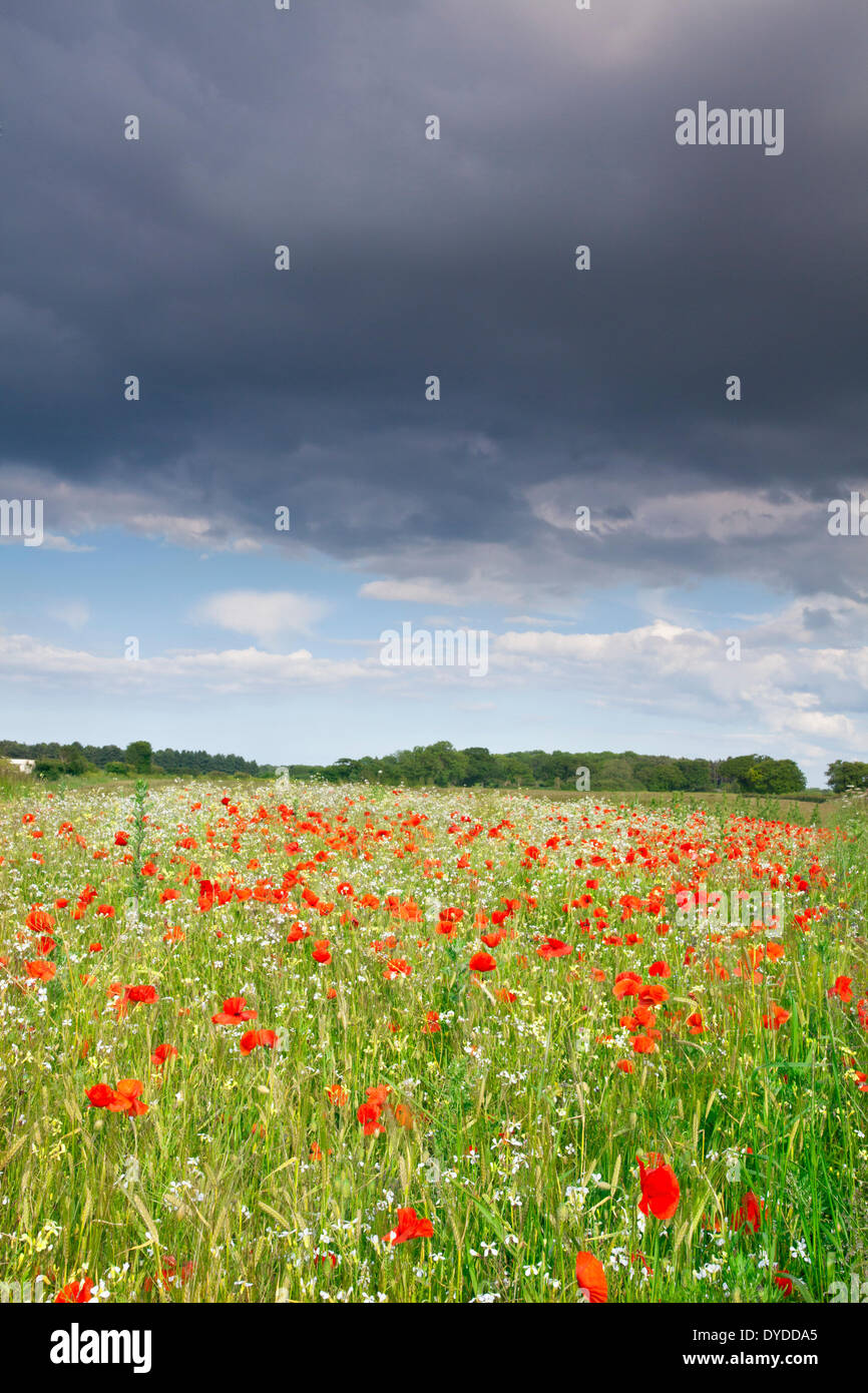 A summer poppy field beneath a stormy sky in the Norfolk countryside. - Stock Image