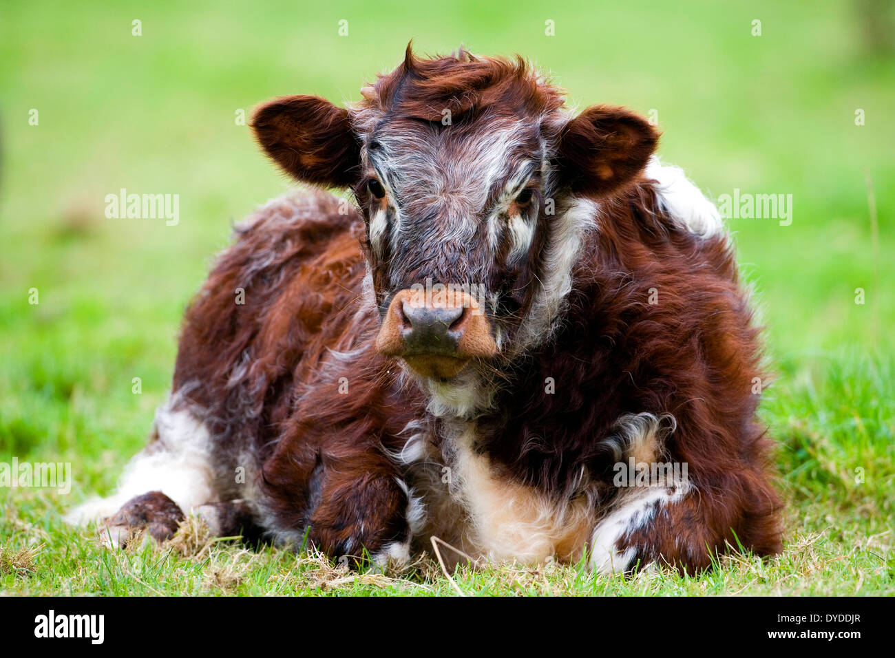 A Long Horned Cow sitting in a field. - Stock Image