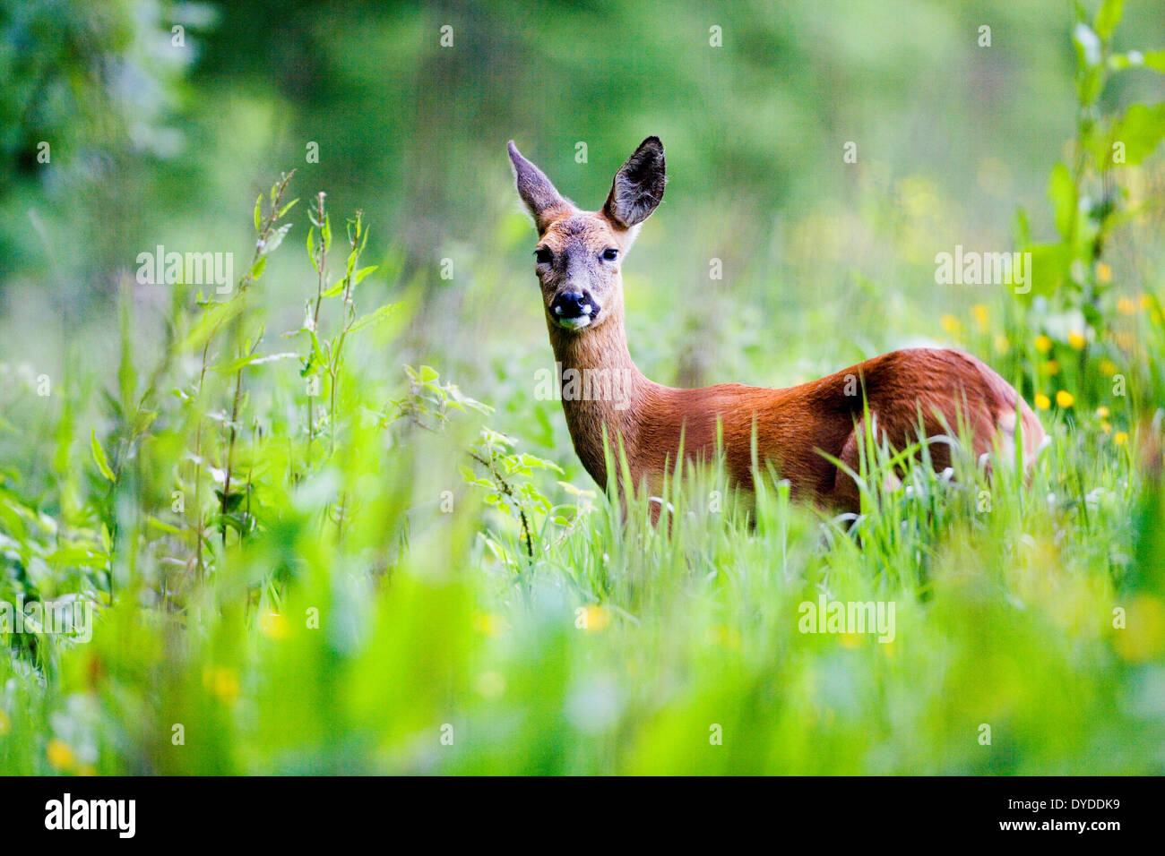 A Roe Deer in the undergrowth. Stock Photo