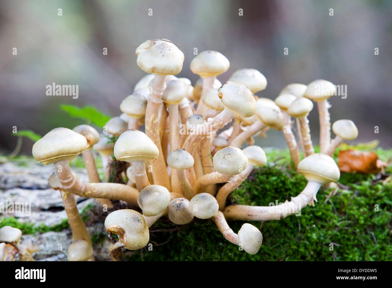 Honey fungus on a decayed fallen log. - Stock Image