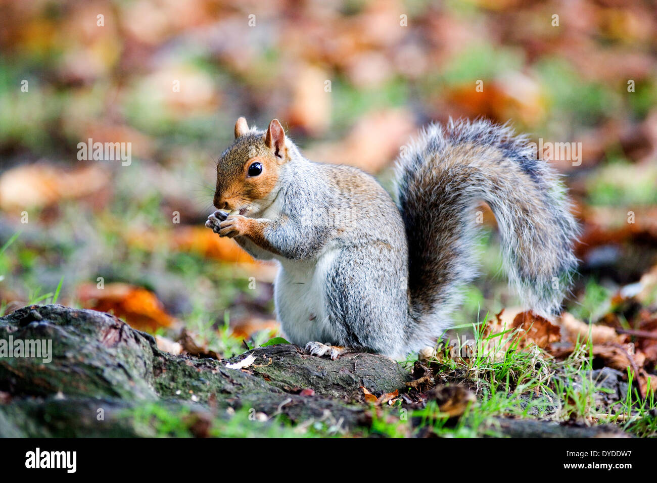 A grey squirrel. Stock Photo