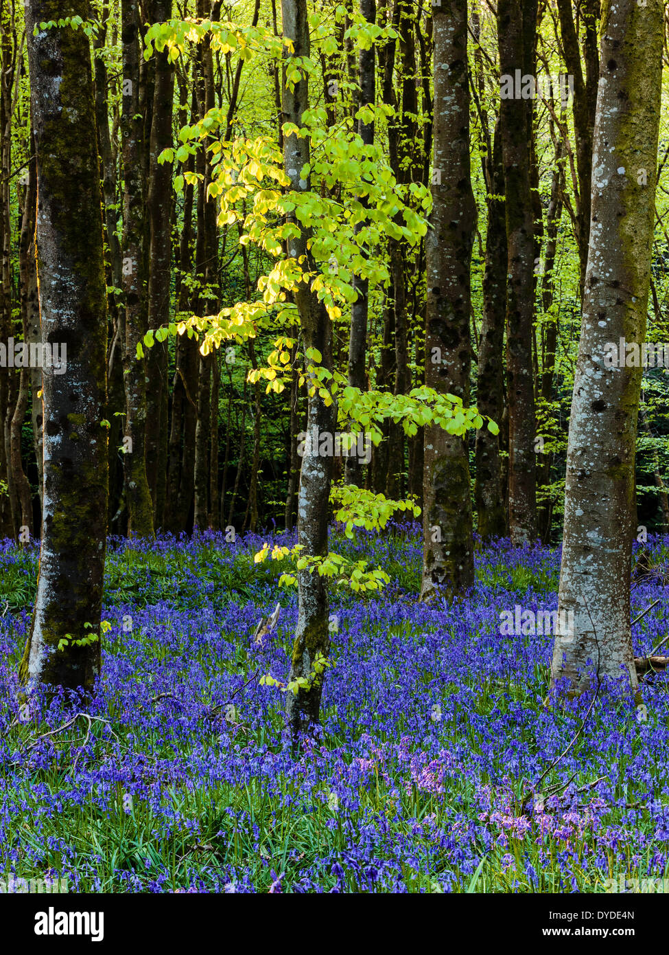 Bluebells amongst beech trees in Hooke Park in Dorset. - Stock Image