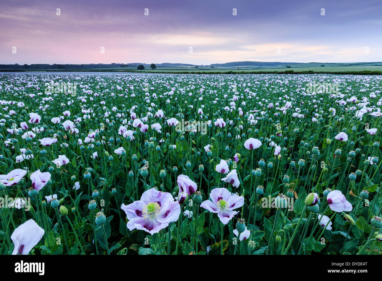 Sunrise over a field of opium poppies near Morden. - Stock Image