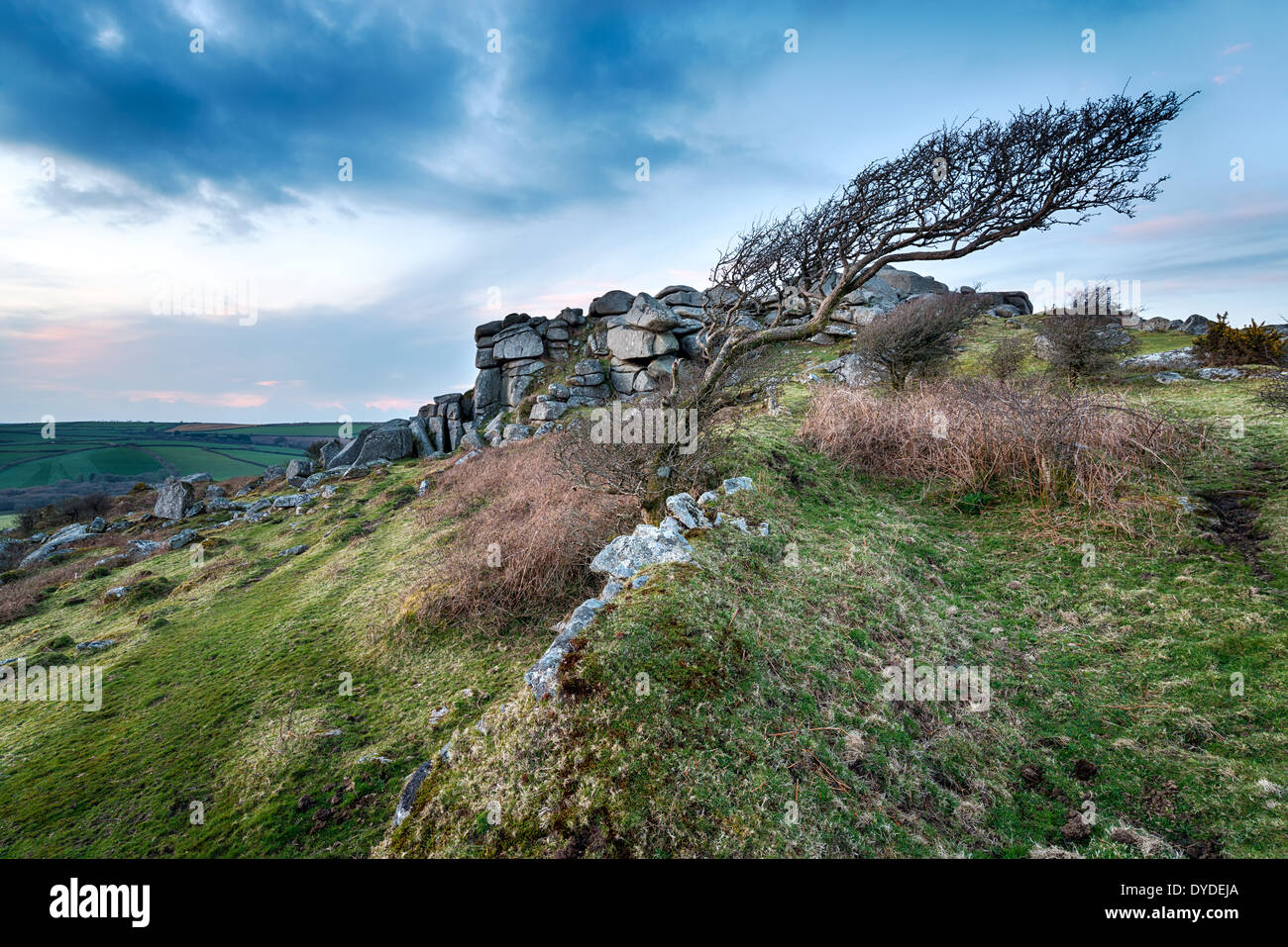 Windswept moorland tree at Helman Tor near Bodmin in Cornwall - Stock Image
