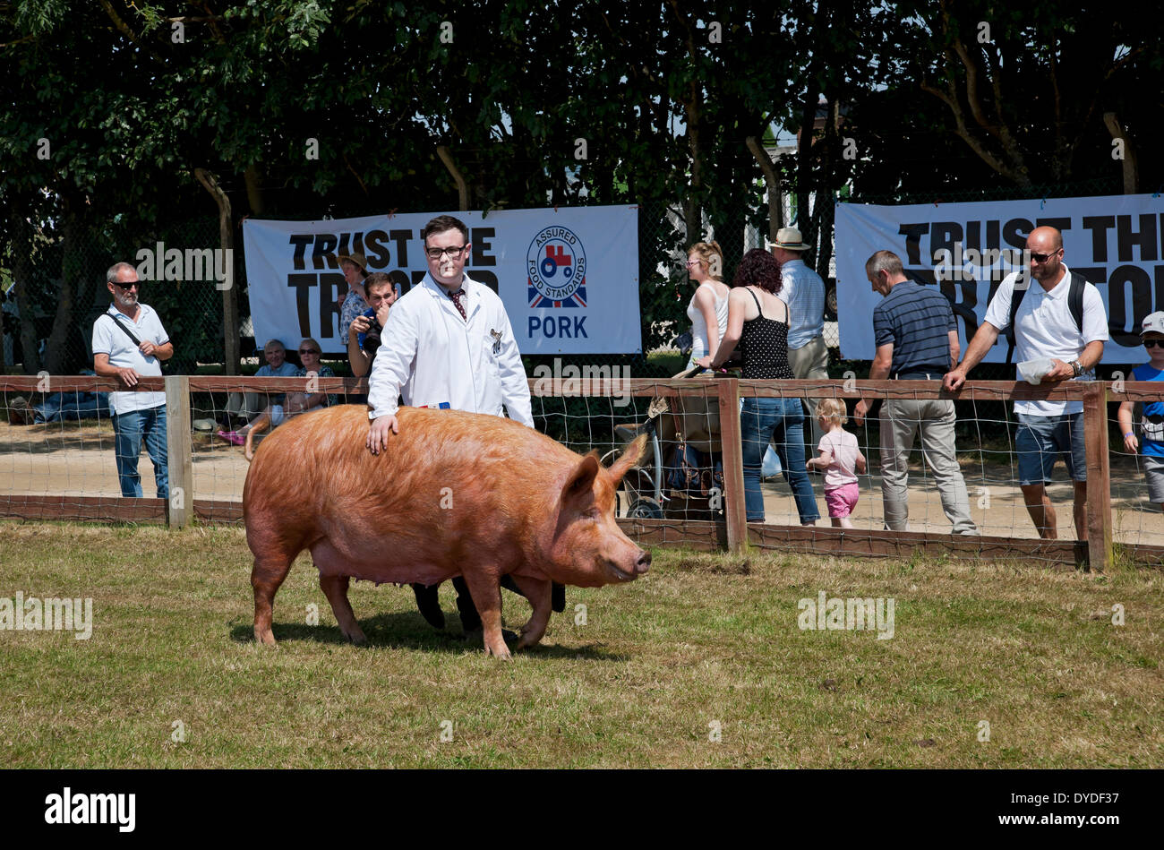 Tamworth pig being judged at the Great Yorkshire Show. Stock Photo