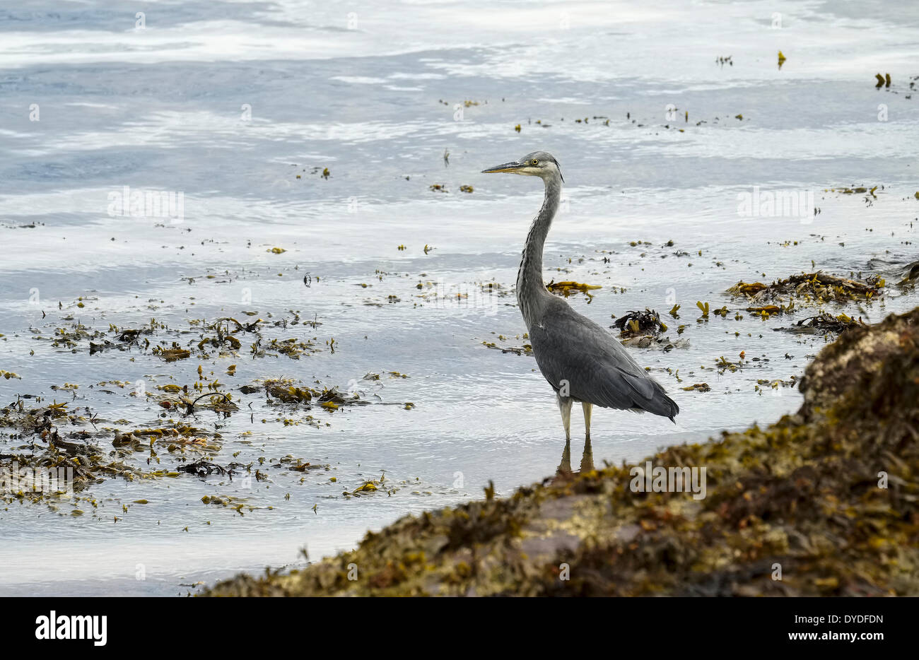 A heron waits patiently by the waters edge. - Stock Image