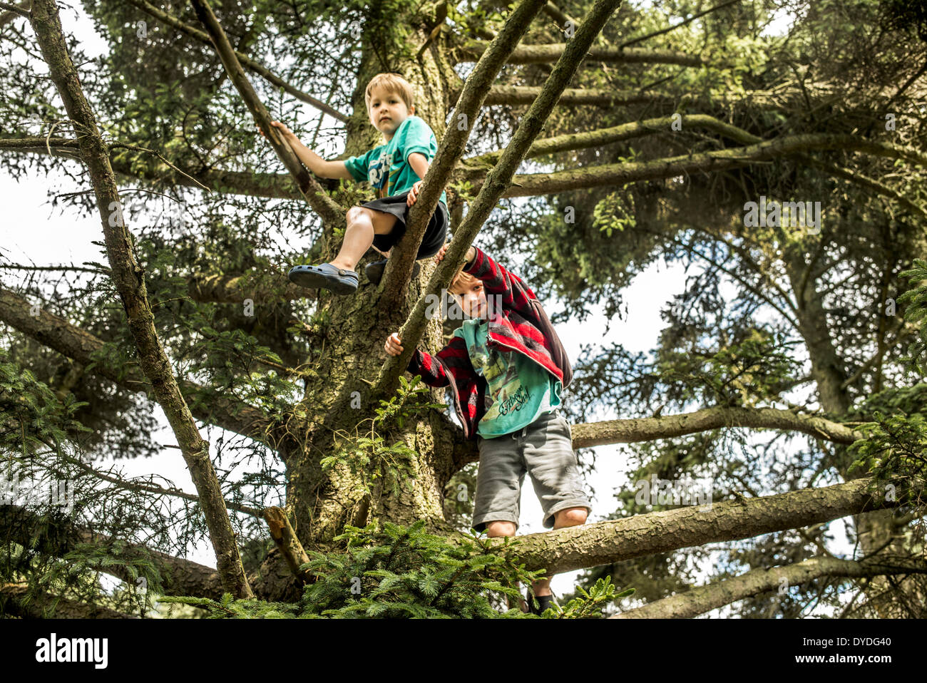 Two brothers climb trees in the forest. - Stock Image